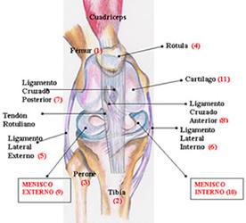 Meniscos rodilla todo sobre dolor rodilla menisco - Dolor en la parte interior de la rodilla ...