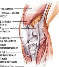Rodilla anatom a de rodilla dolor de rodilla - Dolor en la parte interior de la rodilla ...